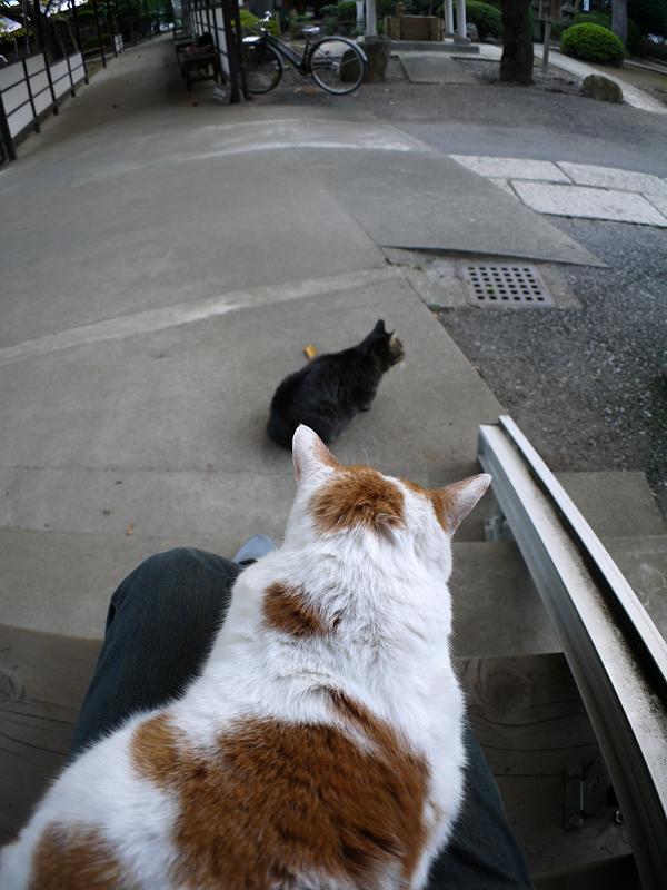 膝に乗ってる茶白猫1