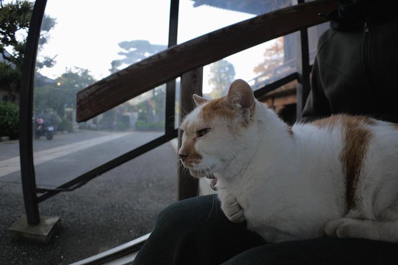 膝に乗ってる茶白猫2
