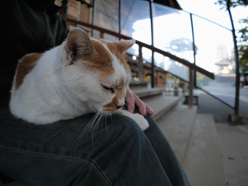 膝に乗ってる茶白猫3