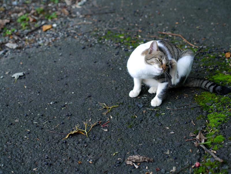 カキカキしてる母白キジ猫1