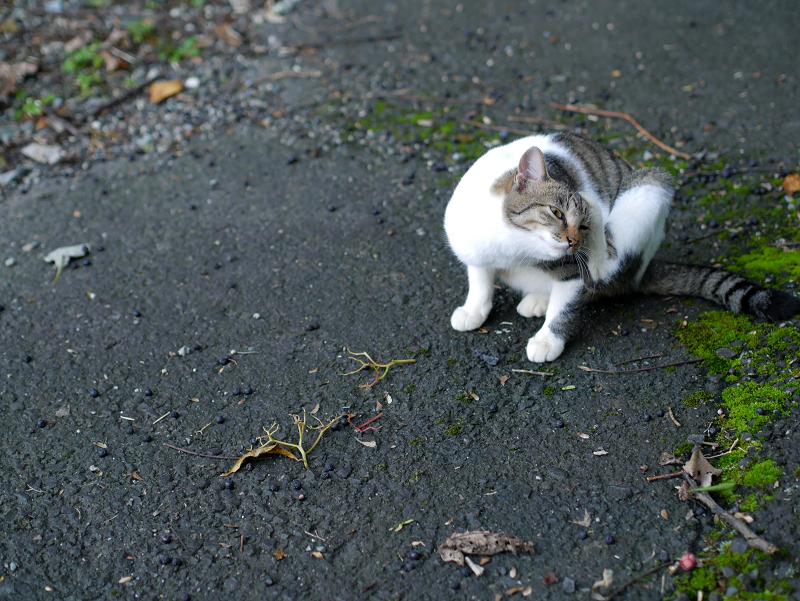 カキカキしてる母白キジ猫2