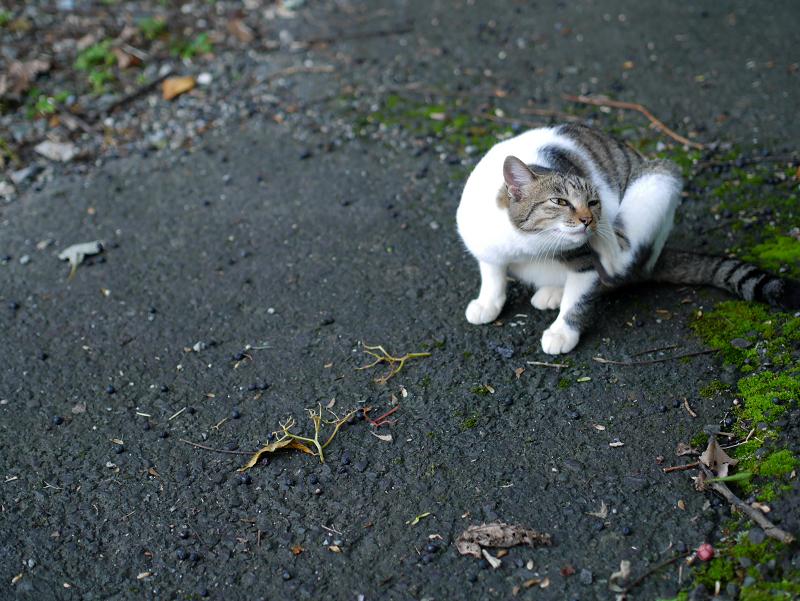 カキカキしてる母白キジ猫3