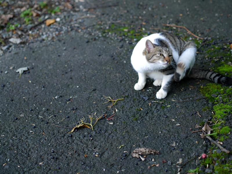 カキカキしてる母白キジ猫4
