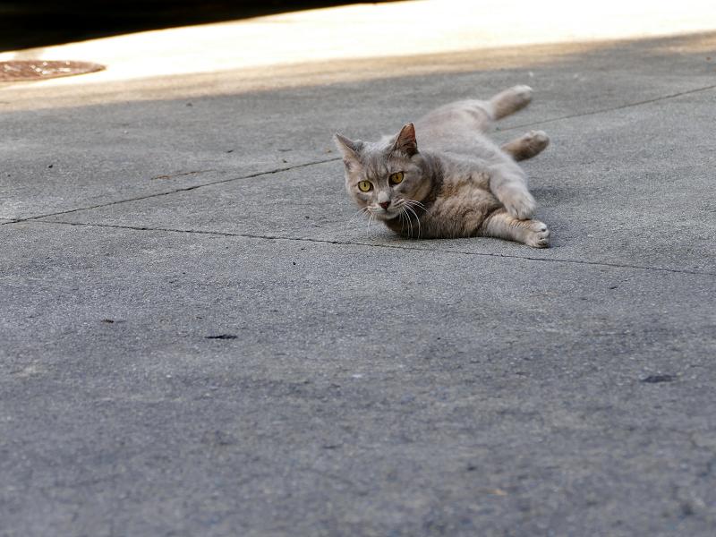 最後まで転がってたグレー猫2