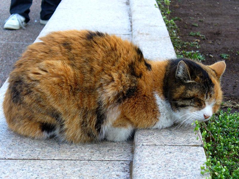 コンクリベンチの三毛猫1