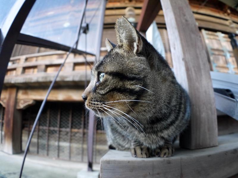 階段端に座ってるキジトラ猫1