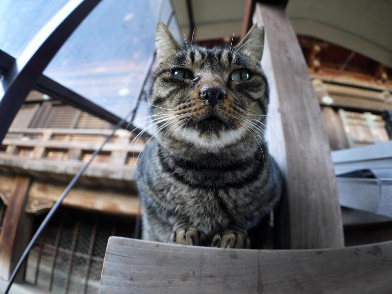 階段端に座ってるキジトラ猫3