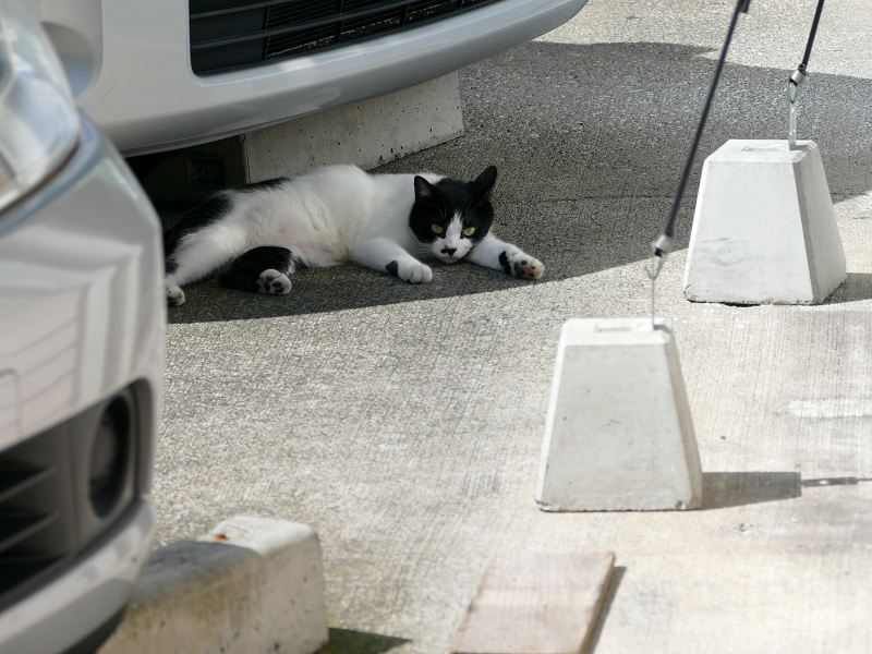 車と白黒猫2