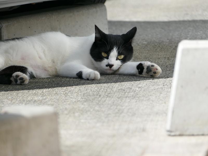車と白黒猫3