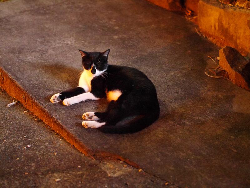 夜の空き地の黒白猫1