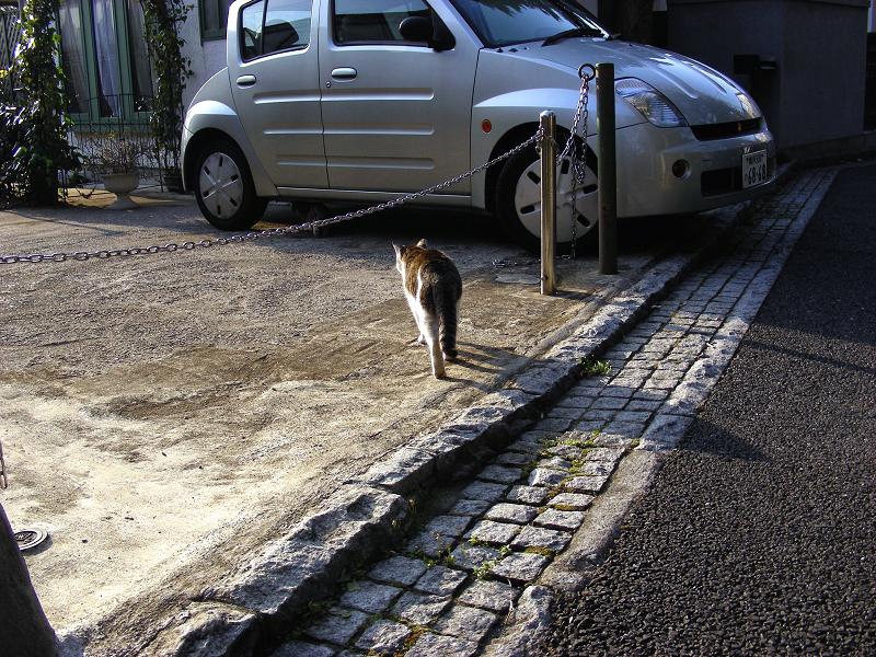 民家庭先のキジ系猫1