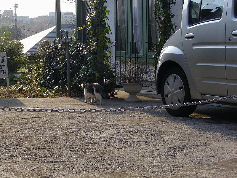 民家庭先のキジ系猫2