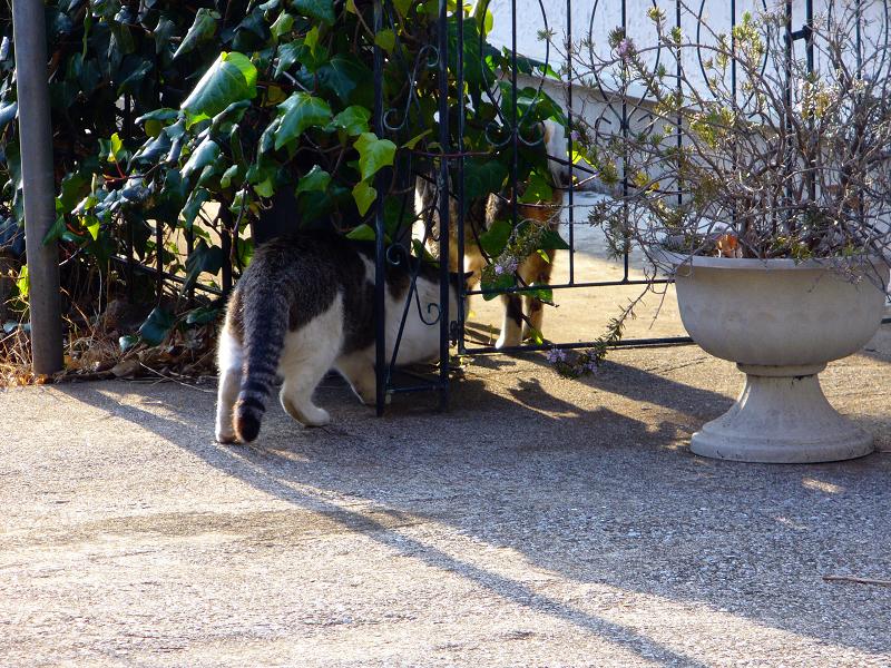 民家庭先のキジ系猫3