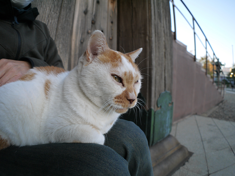 本堂階段横の茶白猫1
