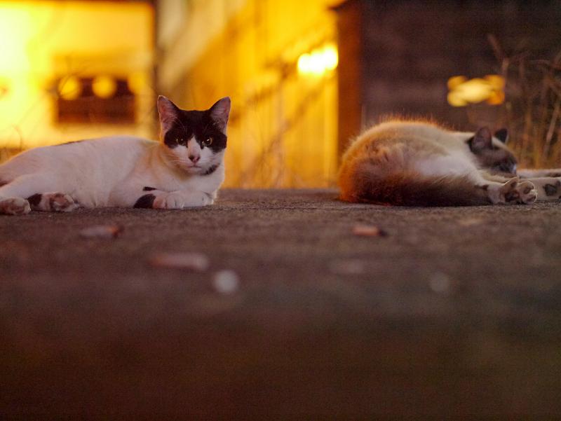 街灯に照らされた空き地の猫たち2