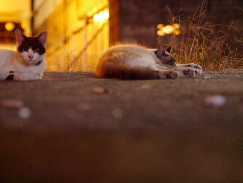 街灯に照らされた空き地の猫たち3