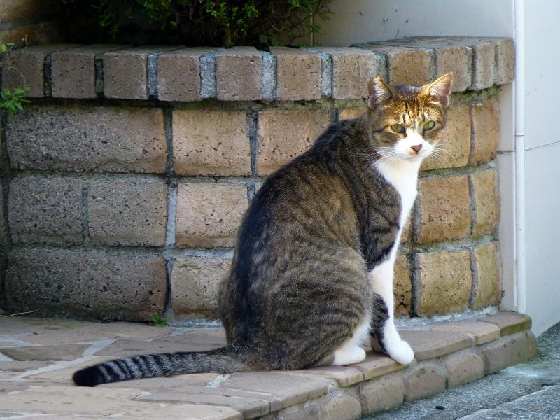 民家玄関門前のキジ白猫1