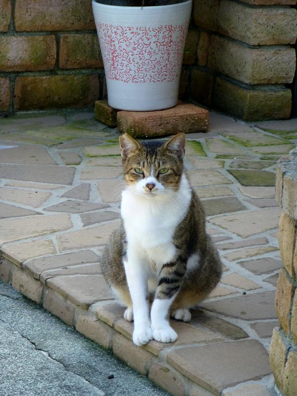 民家玄関門前のキジ白猫