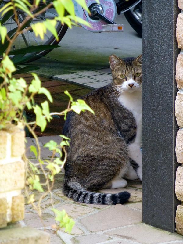 民家玄関門前のキジ白猫3
