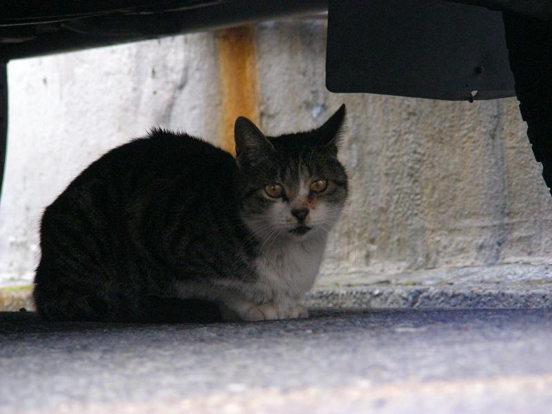 車の下にいた猫