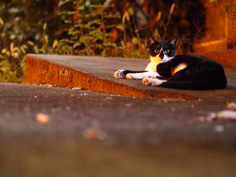 夜の街なか空き地の黒白猫1