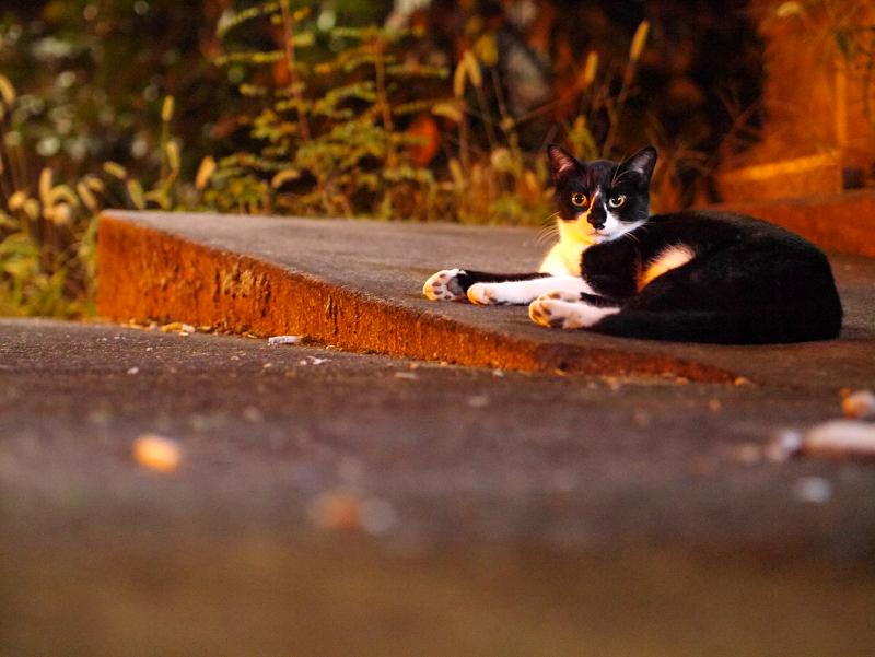 夜の街なか空き地の黒白猫2