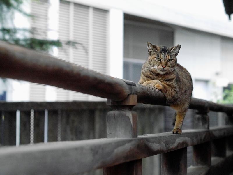 欄干のサビ柄猫2