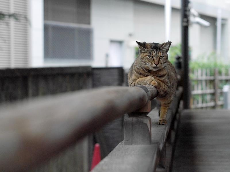 欄干のサビ柄猫3