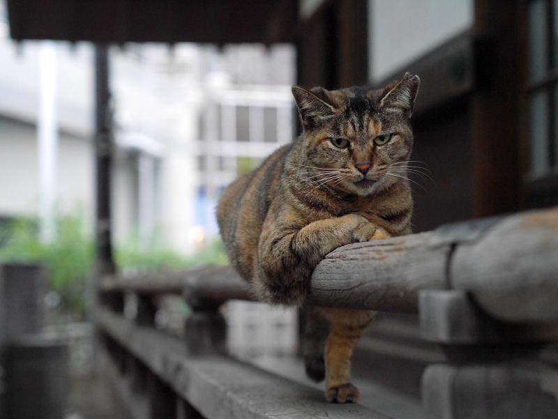 欄干のサビ柄猫4