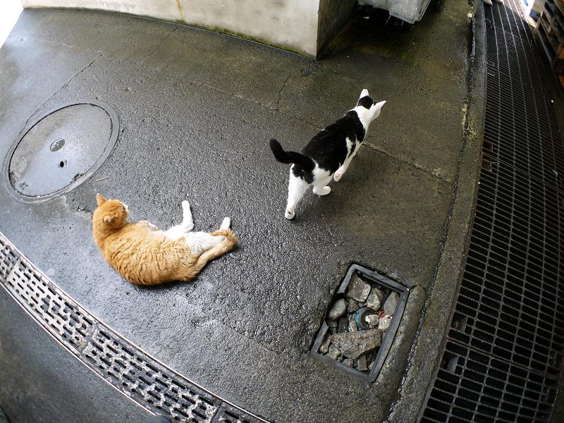 トロ箱の蓋と猫たち1
