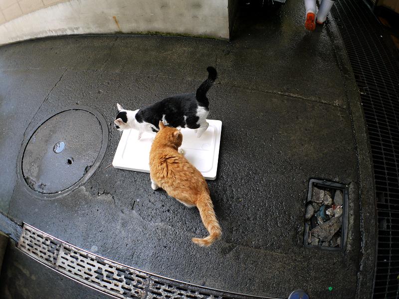 トロ箱の蓋と猫たち3