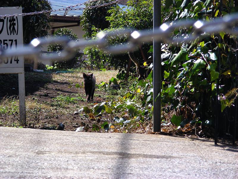 空き地から出てきた黒猫1