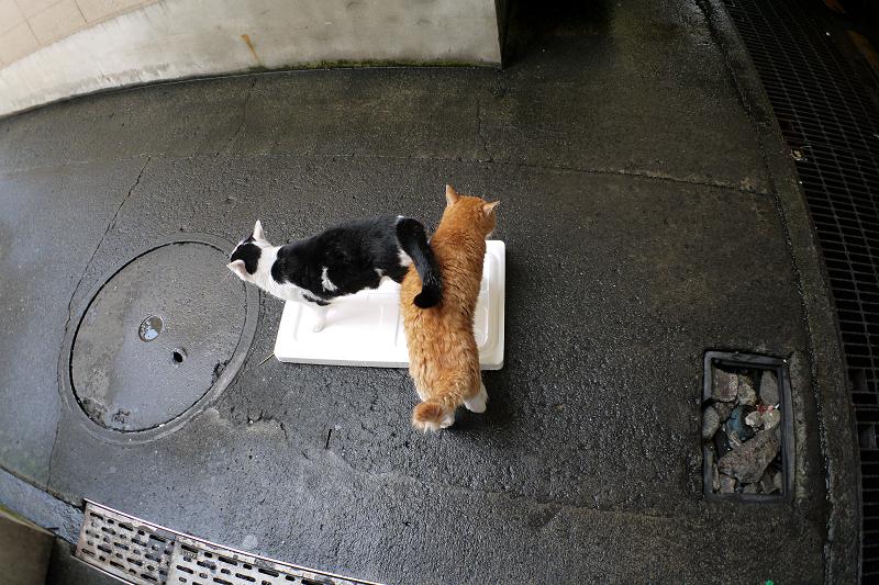 トロ箱の蓋に乗った猫たち1