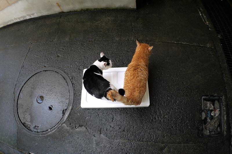 トロ箱の蓋に乗った猫たち2