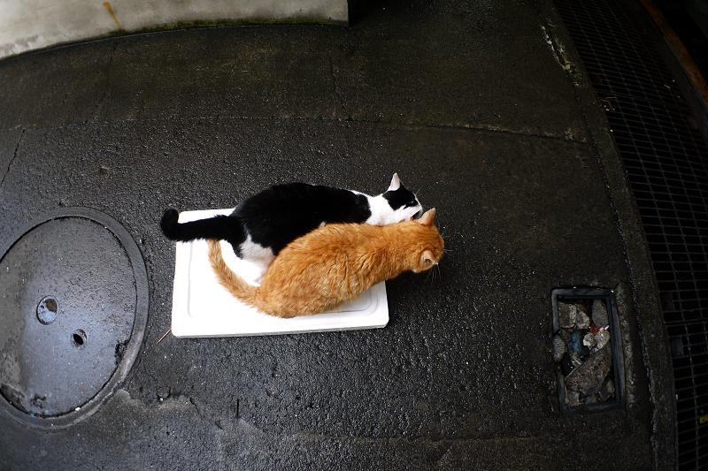 トロ箱の蓋に乗った猫たち3