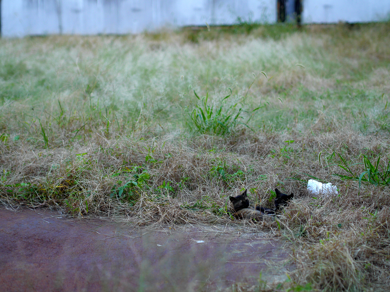 夕暮れの空き地の猫たち1