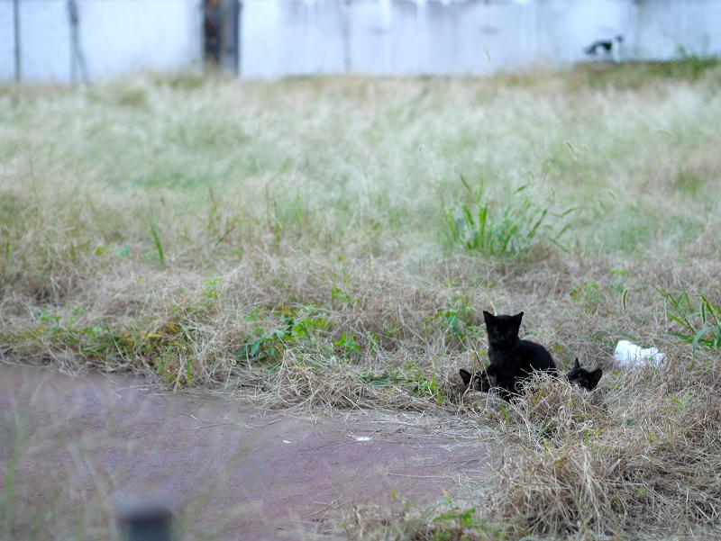 夕暮れの空き地の猫たち2