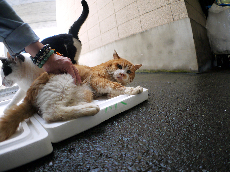トロ箱蓋の上の猫たち1