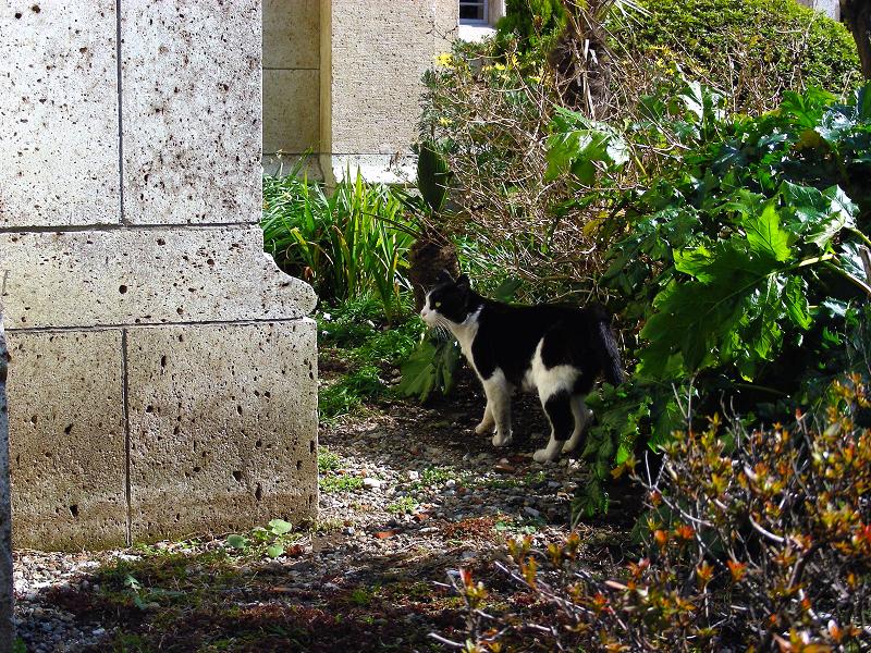 歩いて行く黒白猫1
