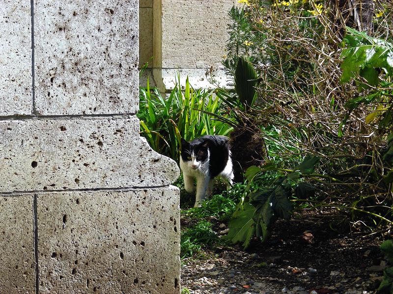 歩いて行く黒白猫2