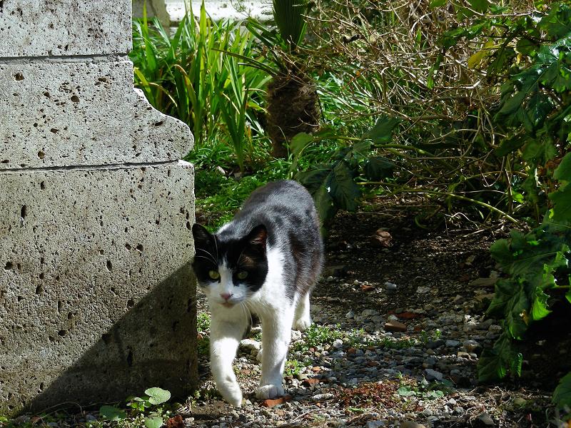 歩いて行く黒白猫3