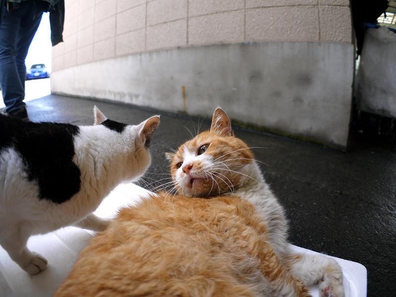 仲良しトロ箱蓋の猫たち1