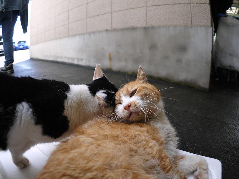 仲良しトロ箱蓋の猫たち2