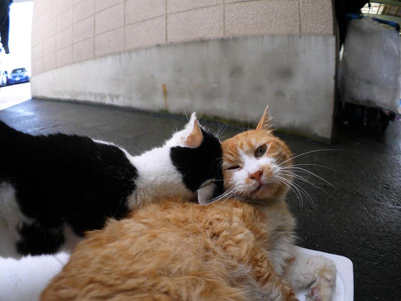 仲良しトロ箱蓋の猫たち3