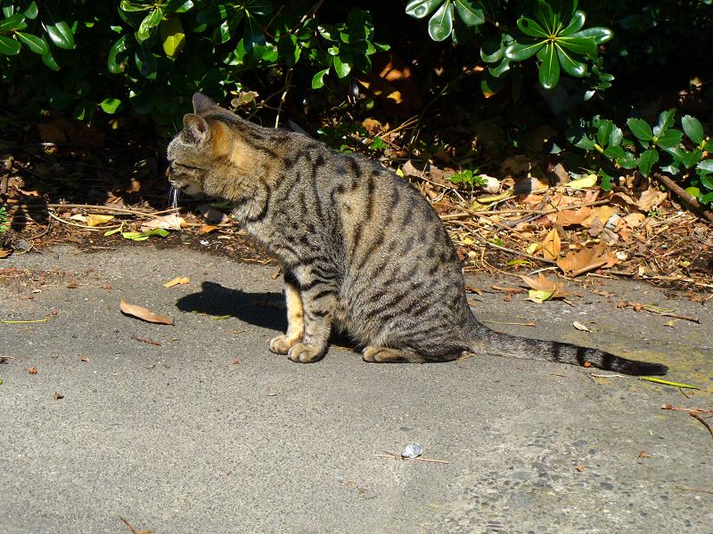 日だまりのキジトラ猫1