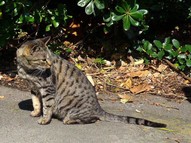 日だまりのキジトラ猫2
