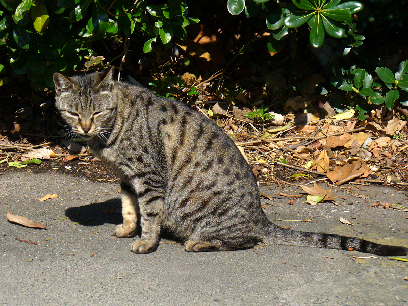 日だまりのキジトラ猫3