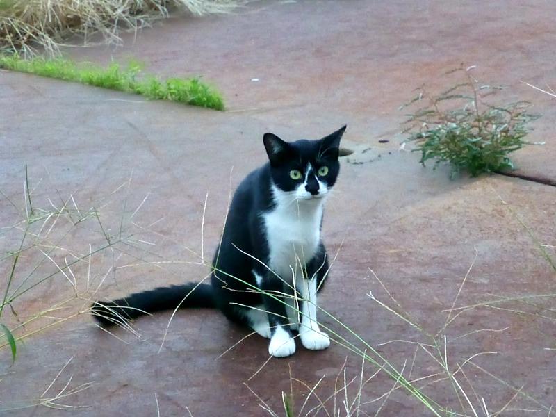 夕暮れ空き地の黒白猫1