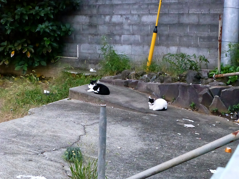 夕暮れ空き地の黒白猫2
