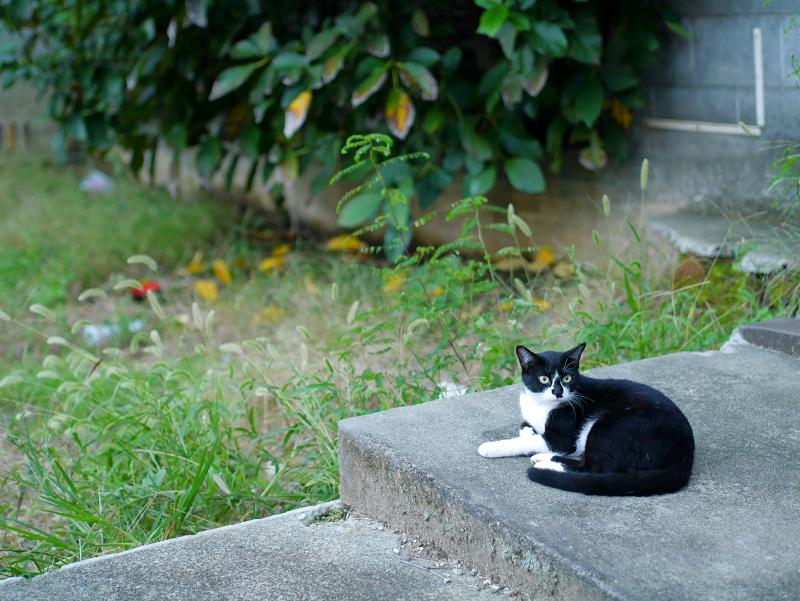 夕暮れ空き地の黒白猫3